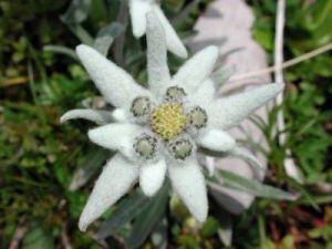 floare-de-colt-pentrulumsa