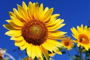 floarea-soarelui-pentrufina