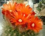 flori-de-cactus-pentruancoo