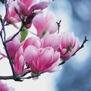 magnolia-pentrumanon