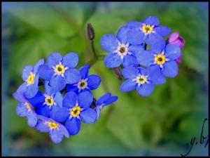 violete-pentruleti