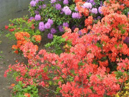 norvegia flori